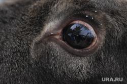 Лосиная ферма «Дом лося Сохатка». Национальный парк Зюраткуль, лоси, глаз лося