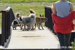 Виды Верхней Салды, собака, пешеходный мост, стая собак, бродячие животные