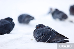 Кормление голубей у Храма Александра Невского. Курган, голуби, зима, птицы, холод