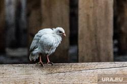 Клипарт. Челябинская область, курица, цыпленок, домашняя птица, забор
