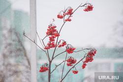 Первый снег. Нижневартовск, рябина, зима, погода, первый снег, ягода, осень