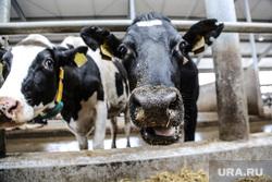 Открытие молочной фермы в селе Петелино. Тюменская область, коровы, животноводство