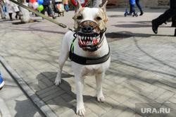 Первомай в Челябинске. Челябинск, оскал, собака, злая собака, клыки, намордник, питбуль