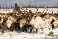 Быт Ямальских оленеводов. , олени, север