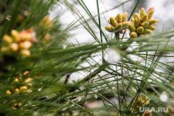 Виды Сочи, растение, сосна, цветение, весна