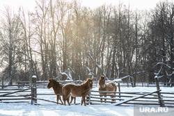Заболотье Тюменская область., лошади, кони, зима