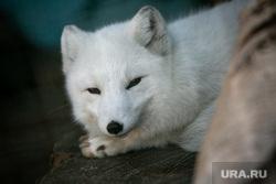 Московский зоопарк. Москва, животные, писец, лисица, песец, полярная лиса