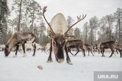 Нумто, Белоярский район, олени, рога