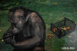 Екатеринбургский зоопарк , зоопарк, шимпанзе, обезьяна