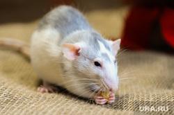 Крыса. Символ 2020 года. Челябинск, домашнее животное, мышь, крыса, символ 2020 года
