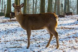Лоси, косули, волки, лисы, косуля, млекопитающие, лесные животные, дикие животные, дикая природа