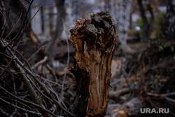 Срубленное дерево в сквере за Оперным театром. Екатеринбург, сломанное дерево