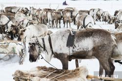 День оленевода в селе Аксарка, ЯНАО, северные олени