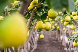 Лимонарий. Агаповский район, Челябинская область, фрукты, цитрусовые, сад, теплица, лимоны, лимонарий, плоды