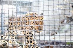 Московский зоопарк. Москва, вольер, зоопарк, клетка, животные, хищник, дальневосточный леопард
