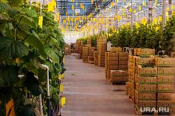 Агрокомплекс Чурилово. Челябинск, овощи, продукты, огурцы, тепличное хозяйство, агрокомплекс чурилово, зелень, овощеводство, сельское хозяйство
