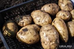Начало уборочной кампании. Сельхозугодья Белоярского района. Екатеринбург, картофель, картошка