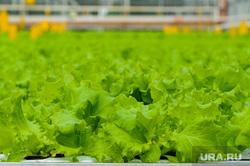 Агрокомплекс Чурилово. Челябинск, овощи, салат, продукты, вегетарианство, тепличное хозяйство, агрокомплекс чурилово, зелень, овощеводство, сельское хозяйство
