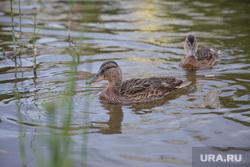 Виды Перми, утки, пруд, водоплавающие птицы, озеро