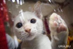 Выставка кошек ко Дню города Екатеринбурга, кошка, котенок, домашний питомец, порода бобтейл