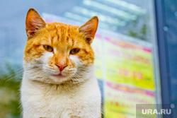 Клипарт. Санкт-Петербург, кошка, кот, чубайс, рыжий