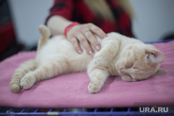 Выставка кошек. Пермь, домашний питомец, выставка кошек