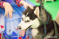 ЮграТур 2014. Ханты-Мансийск, собака, хаски