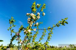 Сельское хозяйство. Григорьевские фруктовые сады. Челябинская область, садоводство, яблони цветут, сельское хозяйство, григорьевские сады, агротехнологии