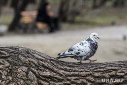 Тридцать первый день вынужденных выходных из-за ситуации с CoVID-19. Екатеринбург, голубь, городские птицы
