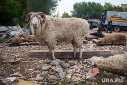 Клипарт. Магнитогорск, баран, курбан байрам, животное, мясо