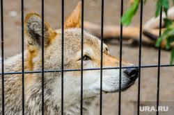 Челябинский зоопарк открыли для посещения. Челябинск, зоопарк, животные, волк