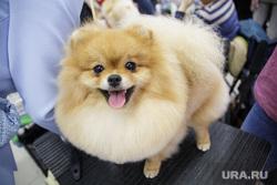 Международная выставка собак. Пермь, собака, домашний питомец, шпиц, выставка собак