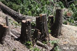 Вырубка деревьев на набережной в Центральном парке культуры и отдыха. Курган, вырубка кустов, зеленые листья, вырубка деревьев
