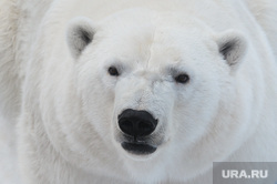 Челябинский зоопарк. Животные.Челябинск., арктика, хищник, животное, белый медведь, зверь, млекопитающее