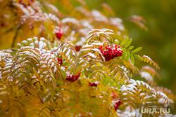 Первый снег. Сургут, рябина, зима, природа, первый снег, желтая листва, осень