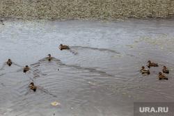 Сентябрь в Тюмени: парки, листва, деревья, прохожие. Тюмень, утки, пруд, сентябрь, водоем, осень