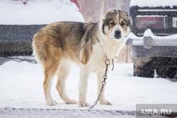 Собаки и дачи. Нижневартовск, собака, зима, большая собака, на цепи, алабай, азиатская овчарка, сторожевая собака