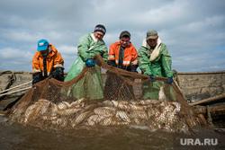 Добыча рыбы в Сургутском районе. Сургут, сеть, рыбаки, улов, добыча рыбы, рыба в сети