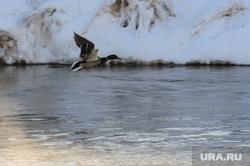 Природа в челябинском городском бору. Челябинск, утка, природа, птица, река миасс , утка летит