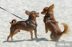 Муниципальный пляж «Первоозерный». Челябинск, собака, пляж, отдых, озеро, пляжный сезон
