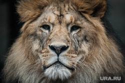 Екатеринбургский зоопарк , лев, зоопарк