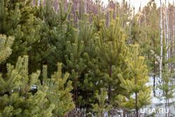 Процедура приобретения новогодней ёлки. Свердловская область, Березовский, елка, деревья, лес, сосна