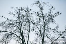 Новогодние подарки. Тюмень, птицы, свиристели, птицы на деревьях