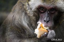 Обитатели Екатеринбургского зоопарка. Екатеринбург, обезьяна, примат, японская макака, japanese macaque, мартышковые