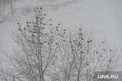 Снегопад в конце марта. Челябинск, птицы, погода, свиристели, весна