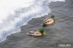Зима, мороз. Пруд Коммунар, плотина Челябинск, плотина, водоплавающие птицы, лед, пруд коммунар, старый мост, утки