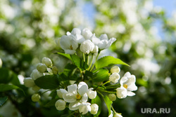 Сорок шестой день вынужденных выходных из-за ситуации с распространением коронавирусной инфекции CoVID-19. Екатеринбург, яблоня цветет, цветок, яблоня, весна
