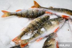 Профилактическая акция «Тонкий лед» на озере Шарташ. Екатеринбург, зимняя рыбалка, улов, окунь, рыба, рыбалка