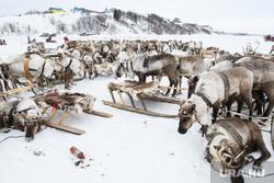 День оленевода в селе Аксарка, ЯНАО, арктика, день оленевода, северные олени