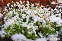 Первый снег. Курган , заморозки, первый снег, цветы